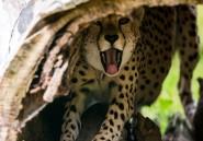 L'extinction des guépards pourrait être aussi rapide que leur vitesse de pointe