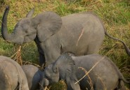 Dans la Garamba, aux confins de la RDC, se joue une guerre pour la survie des éléphants