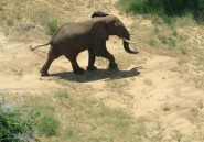 Un éléphant foule le sol somalien, une première en 20 ans