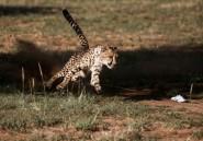 Laurie Marker: une vie pour sauver les guépards de l'extinction