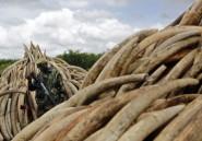 Braconnage d'éléphants: le Kenya va brûler des tonnes d'ivoire