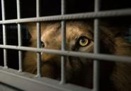 33 lions sauvés de cirques sud-américains arrivent en Afrique