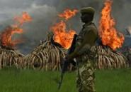 Braconnage: le Kenya détruit des tonnes d'ivoire