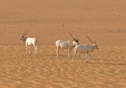 L'addax, une antilope du Sahara, va disparaître