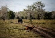 Sécheresse et guerre civile: le parc du Gorongosa menacé par les plaies du Mozambique