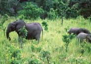Une étude alerte sur la faible reproduction des éléphants de forêt