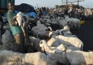 Nigeria: les ventes de moutons de l'Aïd s'effondrent