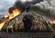 Le commerce controversé de l'ivoire