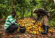 Le cacao congolais du Nord-Kivu attend la paix pour s'épanouir