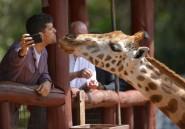En Afrique, la girafe entame une bataille pour sa survie
