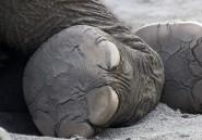 Les douloureux maux de pieds qui tuent les éléphants en captivité