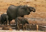 Une sécheresse menace des milliers d'éléphants au Zimbabwe, mais l'Etat l'ignore
