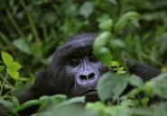 Sauver les grands singes, c'est contribuer au développement de l'Afrique