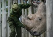 Le dernier mâle d'une espèce de rhinocéros blanc est sur Tinder