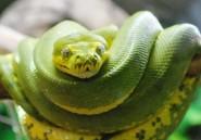 Les morsures de serpent, un fléau que l'Afrique semble ignorer