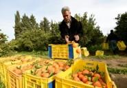 La Tunisie croule... sous les oranges