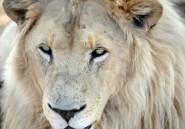 Afrique du Sud: enquête après l'empoisonnement de plusieurs lions