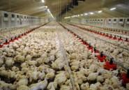 La volaille sud-africaine mise en péril par le  poulet européen