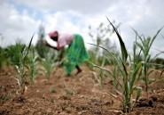 Afrique de l'est: sécheresse et forte hausse des prix alimentaires