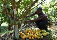 Côte d'Ivoire: la filière cacao en difficultés