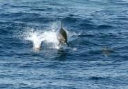 Maroc: le grand dauphin, bête noire des pêcheurs d'Al-Hoceïma