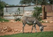 Le Botswana interdit les exportations d'ânes, très prisés en Chine