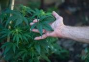 """Remède ou drogue: le cannabis """"thérapeutique"""" fait débat en Afrique du Sud"""