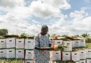 Au Bénin, l'ananas doit changer de couleur (mais pas trop) pour satisfaire le marché européen
