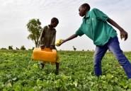 La culture du poivron de nouveau autorisée au Niger malgré Boko Haram