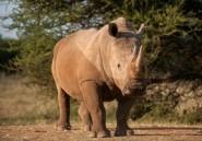 Afrique du Sud: le braconnage des rhinocéros en très légère baisse
