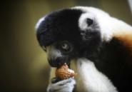 Madagascar: 12 lémuriens braconnés et un chasseur interpellé