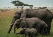 """Kenya: décès de Daphne Sheldrick, la célèbre """"mère"""" des éléphants orphelins"""