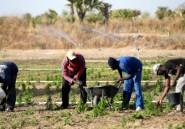 """L'artemisia, remède """"naturel"""" controversé contre le paludisme"""