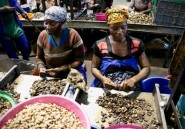 Au Mozambique, la lente renaissance de la noix de cajou