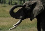 France: 600 kilos d'ivoire détruits lors d'une opération de sensibilisation