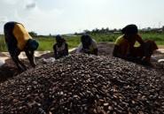 La Côte d'Ivoire va détruire 100.000 hectares de cacaoyers malades