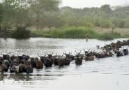 Cameroun: les vaccinations de bétail reprennent dans le nord sinistré