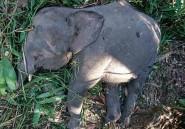 Malaisie: un éléphant de l'espèce menacée de Bornéo tué
