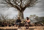 Afrique du Sud: le fruit du baobab, au bonheur des dames