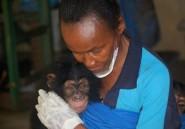 Nature en danger: en Sierra Leone, les chimpanzés paient le prix fort