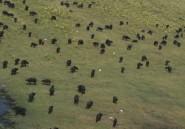 Pourchassés par des lions, 400 buffles se noyent au Botswana