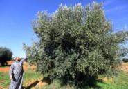 Oliviers arrachés, interdiction d'exporter, manque de moyens: l'oléiculture menacée en Libye