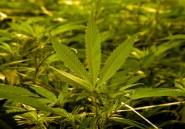 Tanzanie: 11 Burundais arrêtés pour culture de cannabis, 30 ha détruits