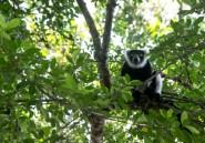 A Madagascar, les lémuriens et leur forêt menacés par le braconnage