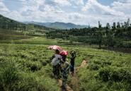 RD Congo: au Kivu, une usine de thé sur la ligne de front