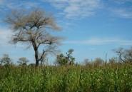 Faidherbia Albida, arbre refuge de l'agriculture sahélienne