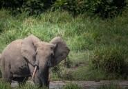 Malgré une baisse du braconnage, les éléphants d'Afrique toujours menacés