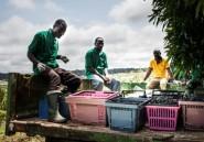 Gabon: produire du vin sur l'équateur, le projet fou d'Omar Bongo