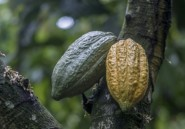Cacao: Ghana et Côte d'Ivoire adoptent un nouveau mécanisme de fixation des prix
