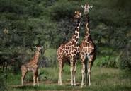 """En Afrique, la girafe et la menace d'""""extinction silencieuse"""""""